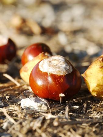 buckeye: horse chestnut buckeye conker outside in the wood
