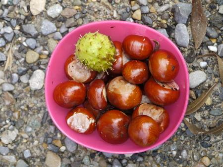 buckeye seed: horse chestnut buckeye conker outside in a basket