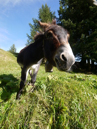 big ass: A donkey standing on grass behind a fench Stock Photo