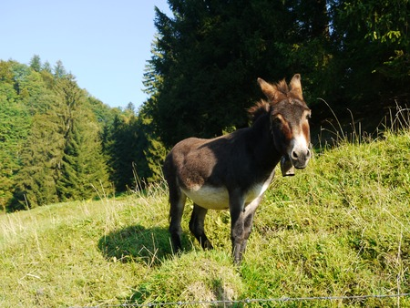 earnest: A donkey standing on grass behind a fench Stock Photo