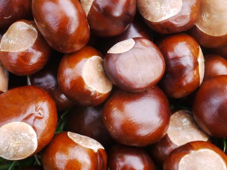buckeye seed: horse chestnut buckeye conker outside in the wood