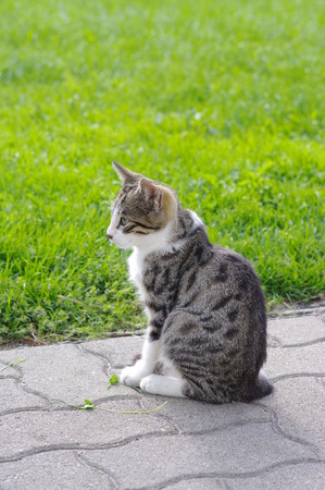 domestic: domestic cat outside in the field