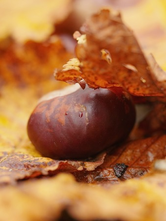 buckeye: horse chestnut buckeye conker outside in the wood