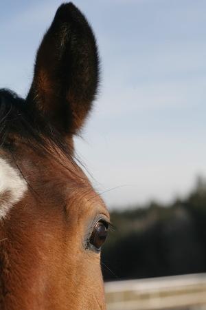 sense of sight: Bay horse eye close up Stock Photo