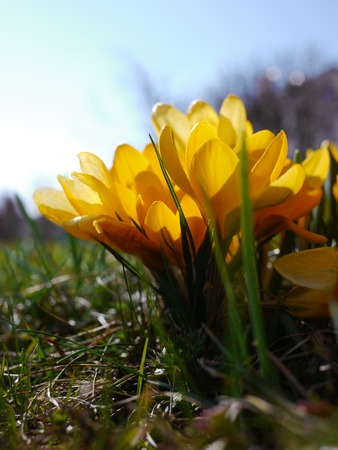 crocuses: a lot of yellow crocuses on a green meadow Stock Photo