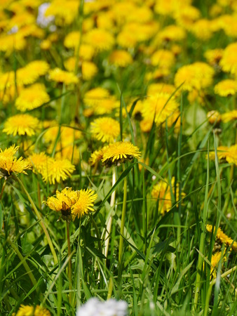 descriptive colors: some dandelion in a big green meadow