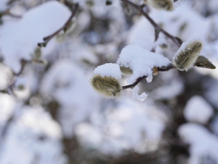willows: some snowy pussy willows in the morning Stock Photo