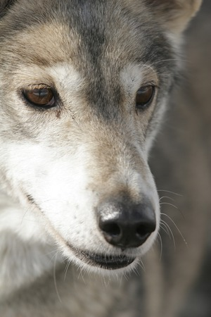 blue grey coat: husky portrait outside close up face Stock Photo