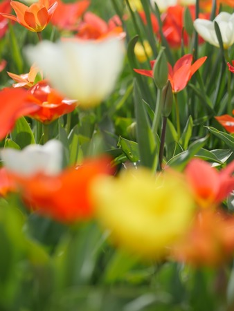 foreground: Unfocused foreground. Red tulips and yellow narcissi
