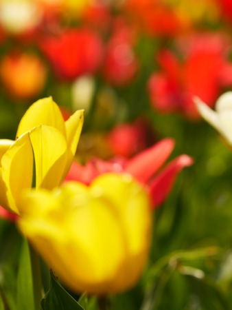 Unfocused foreground. Red tulips and yellow narcissi