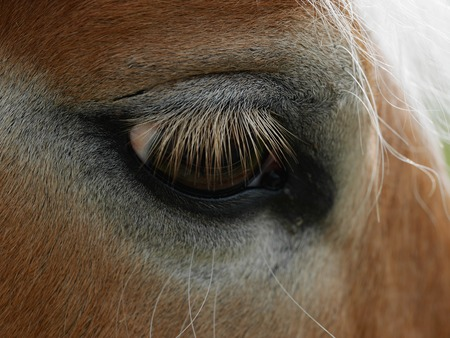 eyes looking down: Horses brown eye with long eyelashes in close-up. Stock Photo