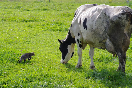 happy cow and cat outdoors