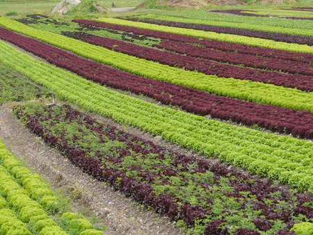 lettuces: many lettuces in a row agriculture Stock Photo
