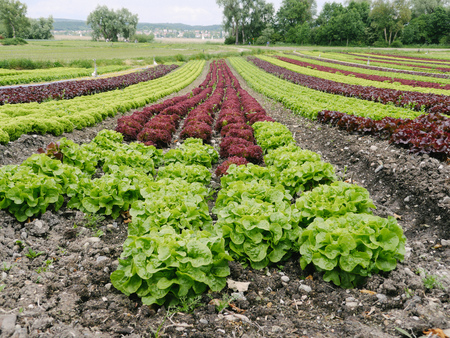 lettuces: Rows of green and red lettuces.