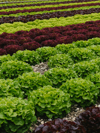 herb garden: Rows of green and red lettuces.