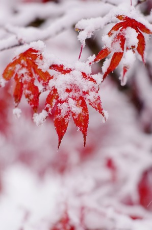 red maple tree under snow snow on red autumn leaf