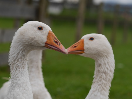 cackle: White geese on green field Stock Photo