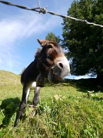 grosse fesse: Un âne debout sur l'herbe derrière un fench Banque d'images