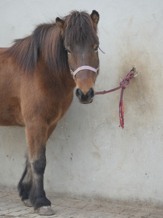 tether: Cropped photo of brown horse chained to wall on outdoors background. Stock Photo
