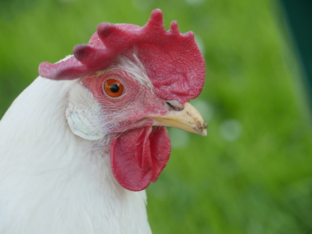 Close-up of white cock Stock Photo