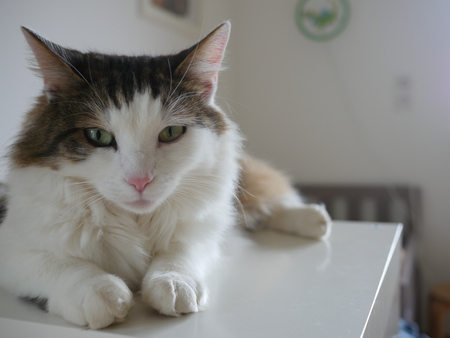 Portrait of cute white and brown cat lying on table at home.