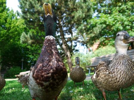 Duck Ducks Stock Photo