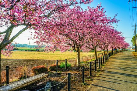 Cherry trees and walking paths Archivio Fotografico