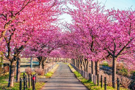 Cherry tree roadside trees 写真素材