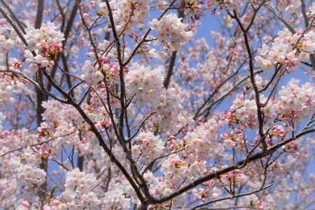 Cherry Blossoms at Atami Onsen