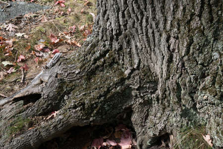 Tree Root with Dry Bark in Fall