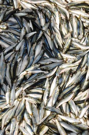 sardinas: Un pescador s captura de sardinas frescas