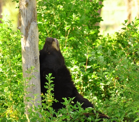 scratches: Black bear satisfying its urge to itch in Idaho