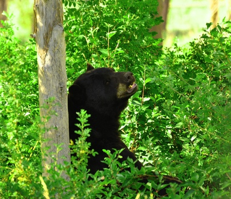 Black bear beats the summer time heat and takes refuge under a tree in Idaho Stock Photo - 17603651