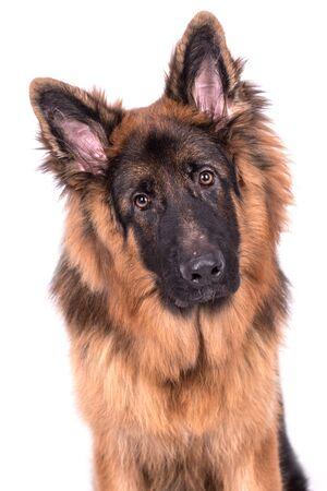 Young long haired German Shepherd