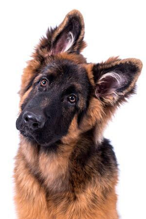 Young long haired German Shepherd Standard-Bild