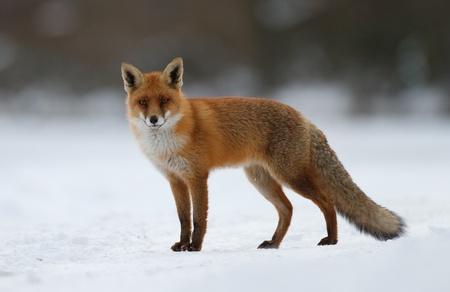 red fox in the snow 스톡 콘텐츠