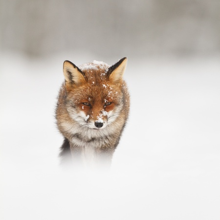 animal fox: red fox in the snow Stock Photo