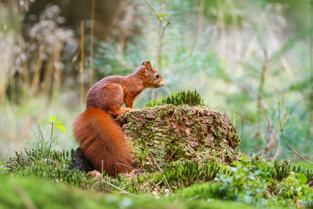 red squirrel: red squirrel