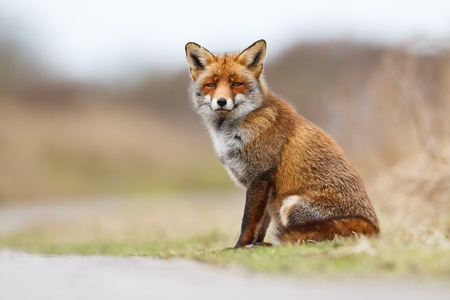 foxes: Red fox