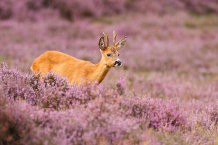 A roe deer in a field of heather