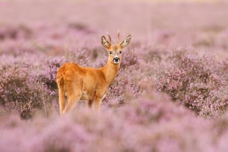 Een ree in een veld van heide Stockfoto