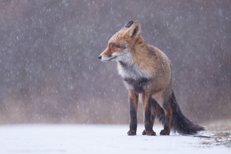 red fox in a heavy snow storm