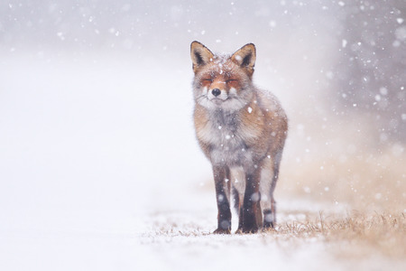 fox fur: red fox in the snow Stock Photo