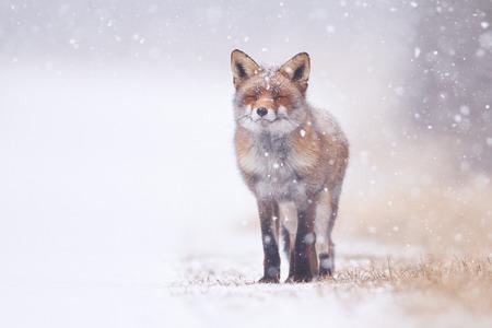 zorro: zorro rojo en la nieve