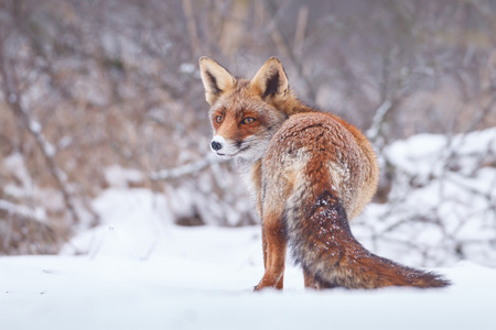 fox: red fox in the snow Stock Photo