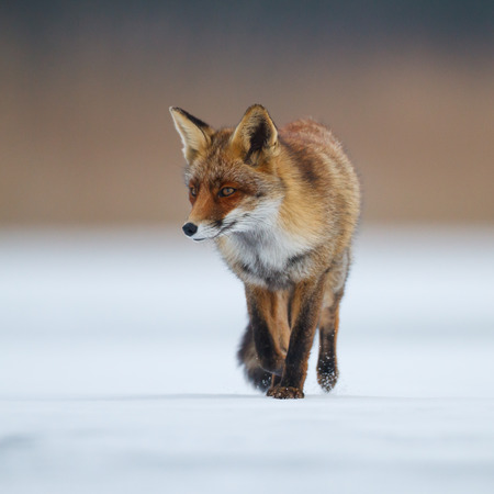 red fox: red fox in the snow Stock Photo