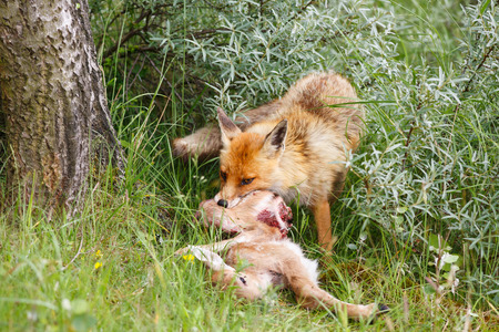 of prey: red fox with prey Stock Photo