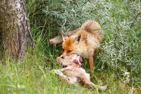 red fox with prey Standard-Bild