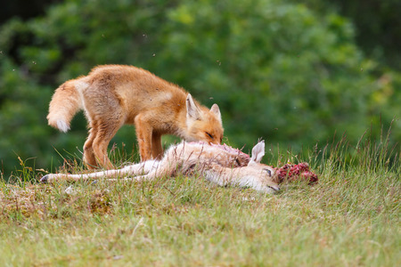 of prey: young red fox with prey
