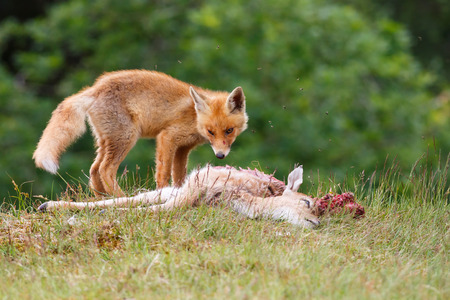 young red fox with prey